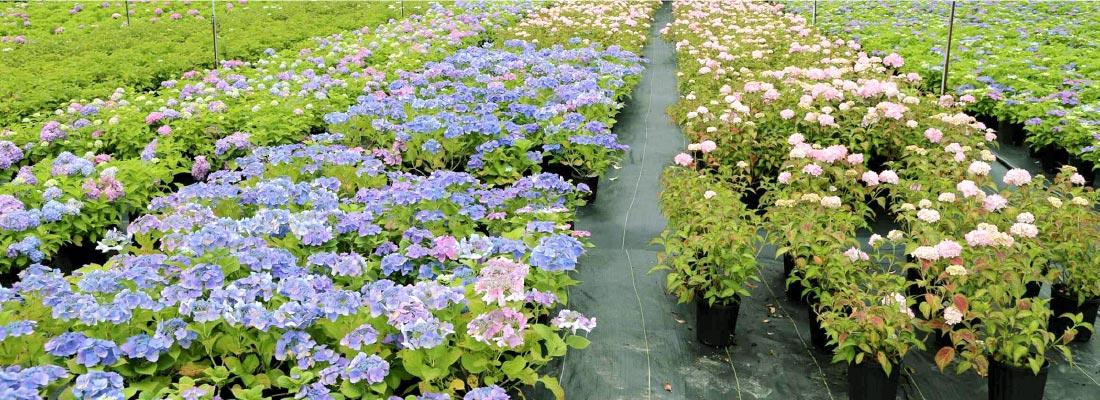 绣球花种质资源繁育与种植基地
